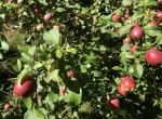 Fitch Apples